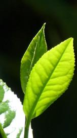 totus-leaf