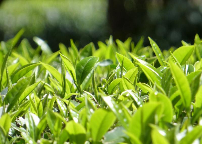 totus-leaf2